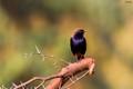 India Robin