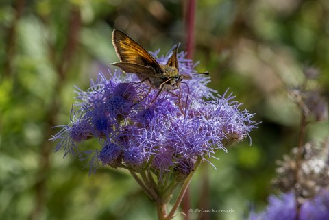 Floss flower or bluemink (Ageratum, perhaps houstonianum, - Asteraceae) with a small skipper butterfly