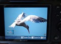 An Elegant Tern