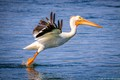 Juvenile American white pelican learning to take off