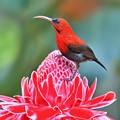 Magnificent Sunbird