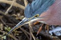 This little Green heron was feeding intently on crayfish when I zoomed in to get a shot that detailed his head.