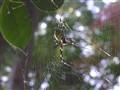 Kamakura Spider