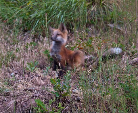 Bad baby fox picture (1 of 1)