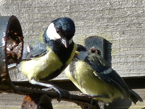 5. Great Tits leaving nest