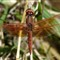 Zion Dragonfly