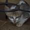 Kucing ngumpet