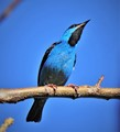 Blue on blue  (Dacnis cayana)
