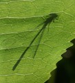 Damselfly Shadow.