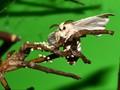 Wild silkmoth