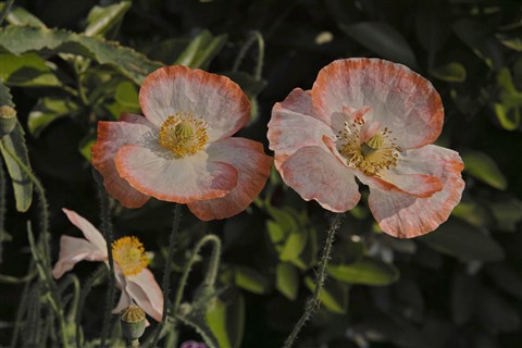 Obaachan'sPoppies