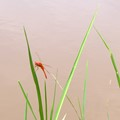 Red Dragonfly in rice paddy in Northeast Thailand