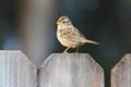 Sparrow?