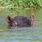 Hippo_Malawi