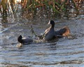 Two Male coots Fighting