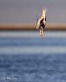 Diving gull