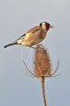 Goldfinch on Teasel. (uk)