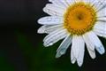 Rain Daisy