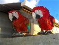 Guyana Parrots