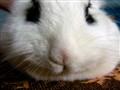 Hotot Bunny