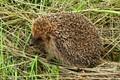 Erinaceus europaeus (hedgehog)