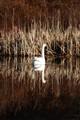 Topsy Turvey Swan