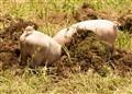 Diggy Piggies