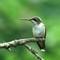Ruby Throated Humming Bird - Female: SAMSUNG CSC