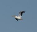 White Pelican, Kentucky Dam
