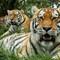 Tigers S