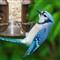 Blue Jay Feeding