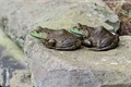 frog_buddies