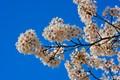 Cherries trees in full blossom