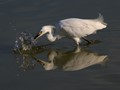 A Snowy Egret Goes Fishing