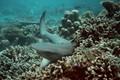 White Tip Ref Shark