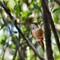 DSC08344 rufous hbird small
