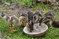 Yum, Yum, Splish Splash. Ducklings at feeding time  on the farm in Upper Austria