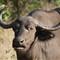 Buffalo symbol of enormous strength