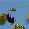 HORNET dead wasp -IMG_8638-Crop