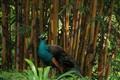 Pretty Peacock or Bamboo