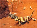 Thorny Devil in 'red earth' desert of Central Australia