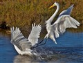great white heron battle