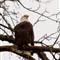 harrison-eagle-0378