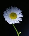 daisy in black