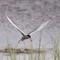Silvertärna - Arctic tern (Sterna paradisaea)-6