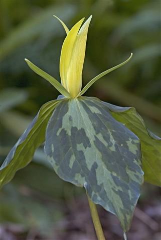 trillium-luteum