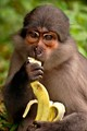 Monkey of the sacred forest, Cote d'Ivoire