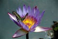 Butterfly on Lotus Flower