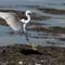 Snowy Egret landing-5
