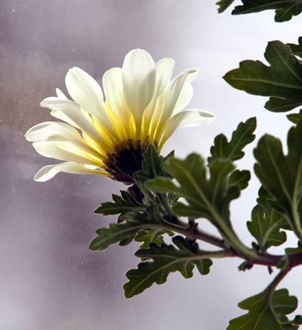 Bold Chrysanthemum